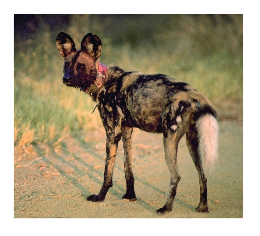 © Painted Dog Conservation / Peter Blinston