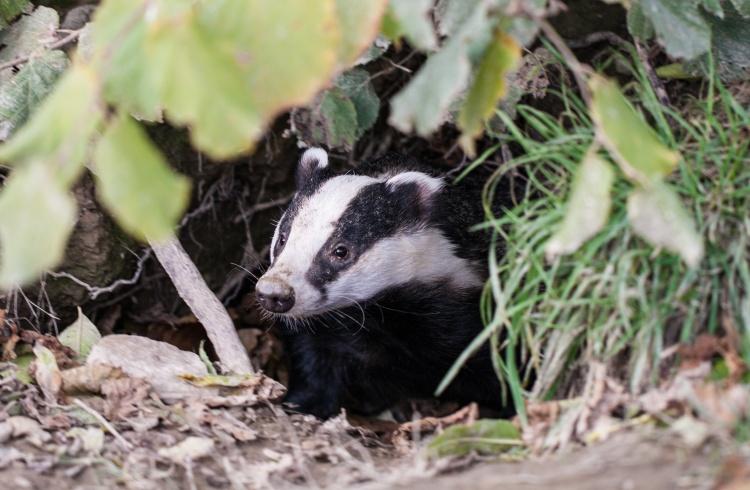 Badger emerging from their sett.