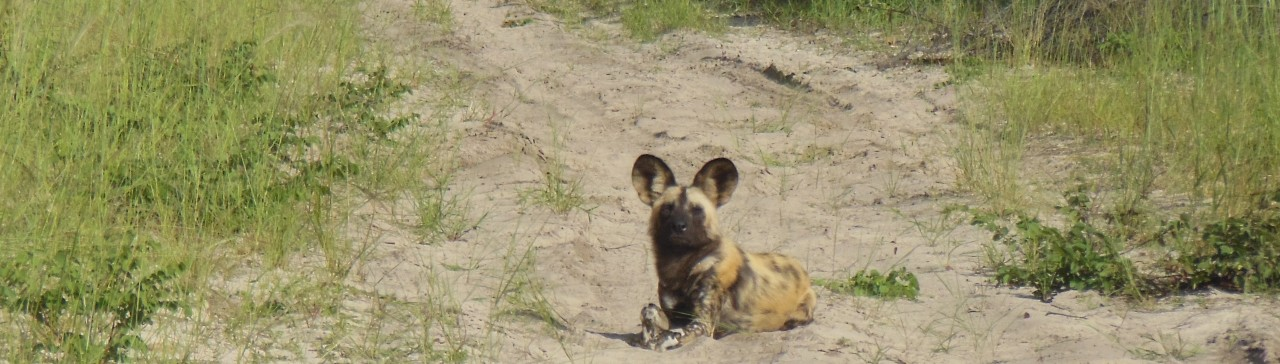 Photo of a painted dog laying down on a dirt track in Hwange National Park, Zimbabwe